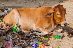 VARANASI, INDE - 25 OCTOBRE 2016 : La vache se situe dans une pile des déchets à Varanasi, Ind photographie stock libre de droits