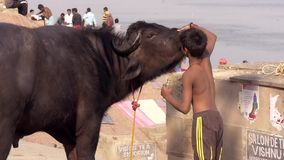 Varanasi, india, child and water buffalo. More than 95.8% of the world population of water buffaloes are found in Asia including both river and swamp types stock footage