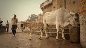 Varanasi, India, indian people and free sacred cows stock video