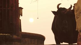 Varanasi, India, indian women and free sacred cow stock footage