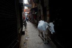 Varanasi. MP 058:  A cow walks in a small by lane at Varanasi, Uttar Pradesh, India Royalty Free Stock Images