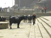 Varanasi, Uttar Pradesh die, India - November 2, de mens van 2009 A beeld van zwarte buffels nemen bij ghats Royalty-vrije Stock Foto's