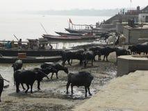 Varanasi, Uttar Pradesh, India - November 2, de kudde van 2009 A van zwarte buffels dichtbij ghats Royalty-vrije Stock Fotografie