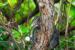 Varanus σε ένα δέντρο Στοκ Εικόνες