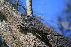 Varanus Гигантская ящерица на ветви дерева Стоковое фото RF