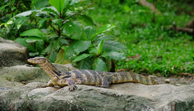 Varanus Royalty Free Stock Photo