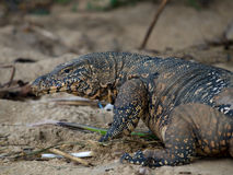 Varanus Stockfotos