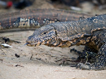 Varanus Photographie stock