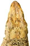 Varanus bengalensis. Head of varanus bengalensis isolated on white background royalty free stock photos