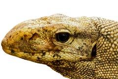 Varanus bengalensis. Head of varanus bengalensis isolated on white background royalty free stock image