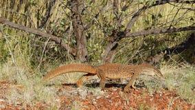 Varanus. Big goanna in the bush, Western Australia Stock Photography