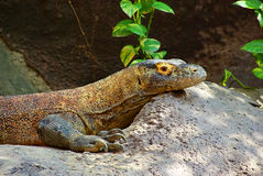 Varanus Royalty Free Stock Photos