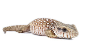 Varanus exanthematicus Royalty Free Stock Photos