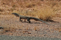 Varanus Giganteus Stock Photography