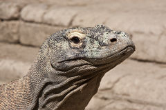 Varanus komodoensis. Komodo dragon went for a walk Stock Photo
