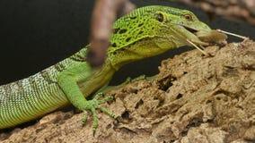 Varanus Prasinus Reptile Hunting stock video