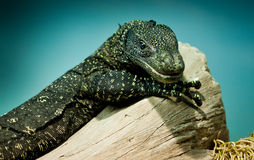 Varanus salvadorii Royalty Free Stock Photo