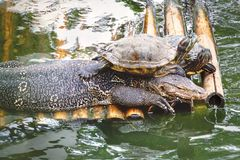 Varanus Salvator и черепахи на бамбуковом сплотке стоковая фотография rf