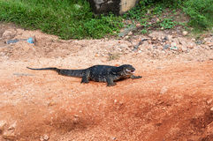 Varanus salvator Obraz Royalty Free