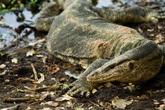Varanus salvator Royalty Free Stock Image