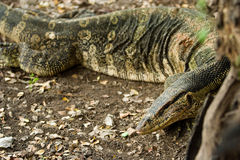 Varanus salvator Stock Photo