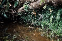 Varanus salvator alias asian water monitor lizard entering a small stream in the middle of the borneo rainforest stock photo
