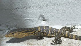 Varanus Salvator Clawling In House Area stock video