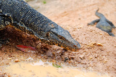 Varanus salvator close up outdoor, Sri Lanka Royalty Free Stock Photography