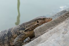 Varanus salvator. Commonly known as Asian Water Monitor sitting on concrete background Stock Image