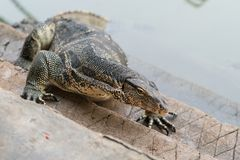 Varanus salvator. Commonly known as Asian Water Monitor sitting on concrete background Stock Photography