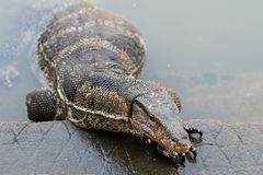 Varanus salvator. Commonly known as Asian Water Monitor sitting on concrete background Royalty Free Stock Image