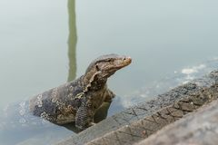 Varanus salvator. Commonly known as Asian Water Monitor sitting on concrete background Stock Images