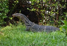 Varanus salvator. Commonly known as the water monitor or common water monitor,  is a large lizard native to South and Southeast Asia royalty free stock photo