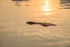 The Varanus Salvator going ashore. Stock Photography