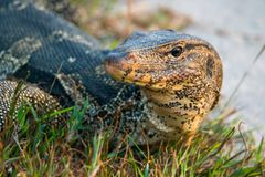 Varanus salvator on ground. Beside river Stock Photo