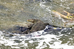 Varanus salvator im Fluss sungai Stockbild