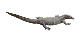 Varanus salvator. Varanus salvator, Isolated on white background Royalty Free Stock Photos