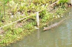 Varanus salvator ist Reptilien lizenzfreies stockfoto