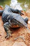 Varanus salvator, a large lizard close up, Sri Lanka Royalty Free Stock Photo