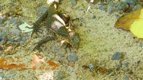 Varanus salvator macromaculatus. Small water monitor - Varanus salvator macromaculatus, in a thicket of grass in the jungle, Similan Islands stock video footage