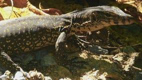 Varanus salvator macromaculatus. Small water monitor - Varanus salvator macromaculatus, in a thicket of grass in the jungle, Similan Islands stock video