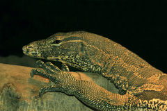 Varanus salvator Royalty Free Stock Photography