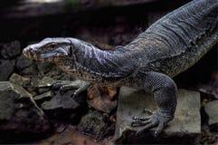 Varanus Salvator, o lagarto de monitor da água Fotos de Stock