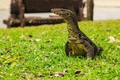 Varanus salvator, powszechnie znać jako wodny monitor lub pospolity wodny monitor, jest wielkim jaszczurki miejscowym południe i  Zdjęcia Stock