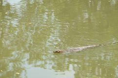 Varanus salvator is reptiles. And amphibiansin live in forest of Thailand.Varanus bengalesis at the water Stock Photo