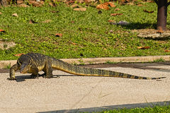 Varanus salvator in the river sungai Stock Photography