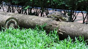 Varanus salvator ` s knallen oben auf dem Bauholz lizenzfreie stockbilder