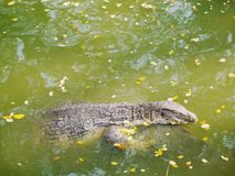 Varanus salvator tropical wildlife animal swimming in river. Natural Royalty Free Stock Photo