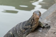 Varanus salvator. Commonly known as Asian Water Monitor sitting on concrete background Royalty Free Stock Photography