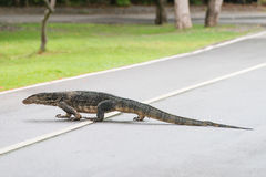Varanus salvator walking across the road Royalty Free Stock Image